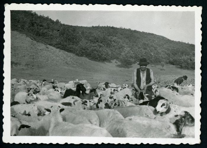 Emérito Robles dando sal a las ovejas en Valmayor