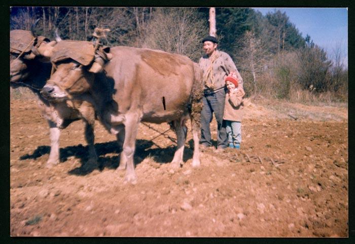 Teodorino Castro con Alejandro de la Puente trabajando la tierra con las vacas y la rastra