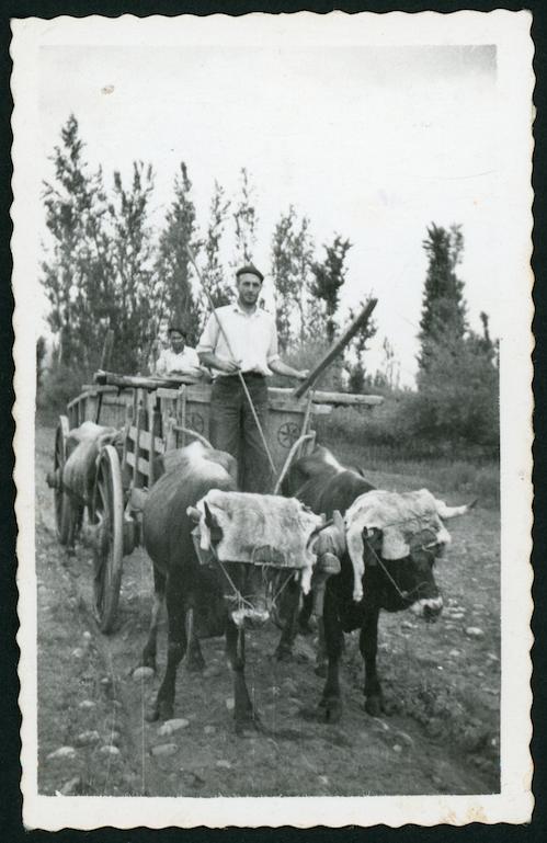 Marceliano de la Varga con el carro de sacar patatas tirado por bueyes en El Vago, en Cerezales del Condado