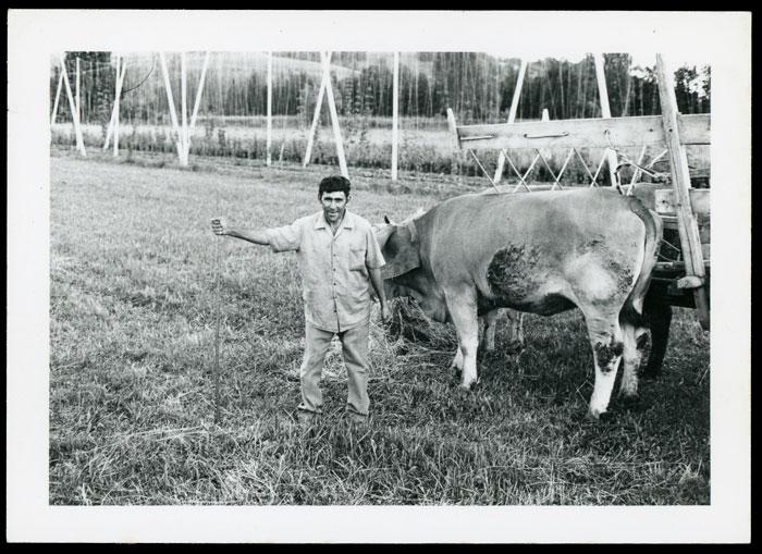 Tino González con las vacas en Las Fuentes en Cerezales del Condado
