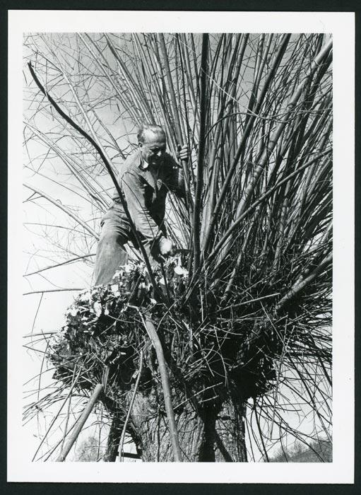 Marceliano de la Varga podando la palera en Cerezales del Condado