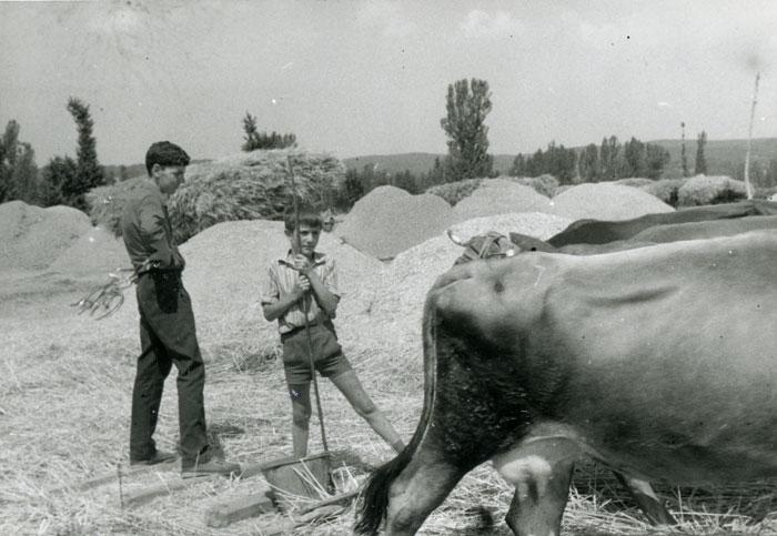 Trillando con las vacas en la era de Cerezales del Condado