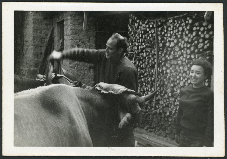 Manuel Martínez unciendo las vacas en Ambasaguas de Curueño