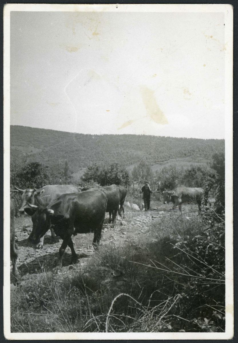 Artemio Escapa con las vacas en Lugán